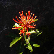 Jolie fleur de notro dit aussi ciruelillo ou fosforito