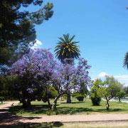 Superbe parc arboré dédié au général San Martin - Un jacaranda fleuri au 1er plan