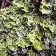 Un lichen foliacé