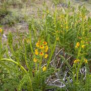 L'adesmia boronioides (paramela) très parfumé