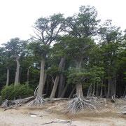 Superbe forêt primaire aux abords du camp Poincenot, notre bivouac