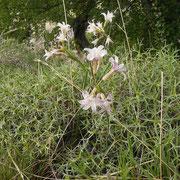 Beau bouquet d'olyscium biflorum