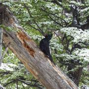 Le pic de Magellan (carpintero gigante ou campephilus magellanicus)