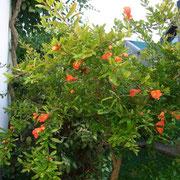 Granatapfelbaum Fruchtsorte