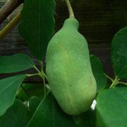 Schokoladenwein (Akebia quinata)