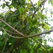Houblon femelle et ses cônes