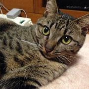 ぶちにゃん 2015年5月5日 小野市へ 保護主さんHさんより  名前はメイちゃんになりました