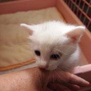 緑ちゃんの子猫 5月21日 南あわじ市へ 名前はちーちゃんになりました