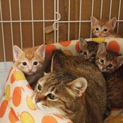 みいちゃん 6月23日 (子猫を4匹帝王切開で出産しました)