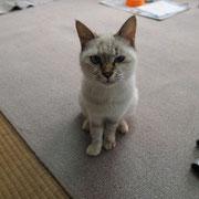 チロちゃん 11月21日 海ちゃん、サイちゃん、ヒカルちゃん、ナギ君の母猫 ナギ君と一緒に 尼崎市へ