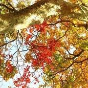 神山シロヤシオの紅葉