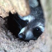 Waschbär - Baumhöhlenbewohner in einem Naturdenkmal