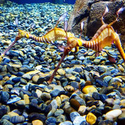 Sea Dragons, perhaps my favourite thing in the sea after, 3 or 4 other things