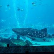 Huge whale shark next to divers