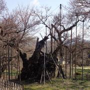 3月22日 人も桜木自身も満開のイメージができつつあります、もうすぐ