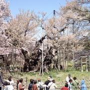 4月11日 ぴゅーぴゅー 花びら半分サヨウナラ