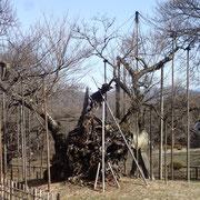 2月22日 大雨を根からたっぷり吸って、後は気温があがれば膨らみが