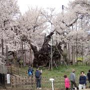4月8日 神代桜 やはり 日本一の桜木!