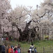 4月10日 花びらもヒラヒラ始め これもまた良し