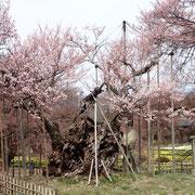 3月30日 2〜3部咲き 駐車場には京都・富山・東京など遠方のナンバーもた〜くさん