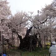 4月9日 神代桜 実原(さねはら)桜並木、カタクリ群生地 み〜んな満開