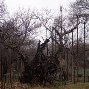 3月9日 朝から一日中ず〜と雨、桜木曰く「アメもまた嬉し」