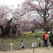4月1日 周りのソメイヨシノも開花して華やかな桜の共演模様