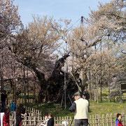 4月12日 静かに葉桜となりました