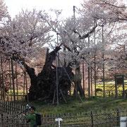 4月3日 早朝   日中は桜も人も満開