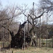 3月8日 25度絡みの夏日(?)、明日は強い雨、一気に進むでしょう