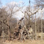 2月26日 桜さん、朗報です。「来週から暖かくなりそう」