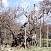 3月21日 東京も開花しここも秒読み、花見の下見かもう人がちらほらと