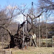 3月1日 暦の上では春が始まった今日、数日前と比べ蕾のふくらみが顕著