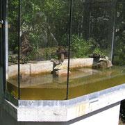 Aquaterrarium mit Gelbbauchunken