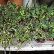 Mimosa Pudica | Vaso 12 cm (aprox 8 pés) | Ref. pudica | € 10,00/un