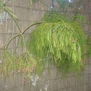 Rhipsalis Vaso 10 cm | Ref. rhip | € 8,00/un  |  Segmentos para plantar |  Ref. rhse | € 1,50/un