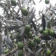 我が家のオリーブの木 今年は豊作!!