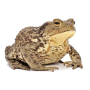 菜園にカエルを自然に住まわせてナメクジ対策