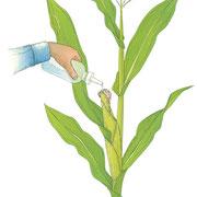 トウモロコシを食べる蛾の幼虫による被害防止のため、スクイズ・ボトルでBt殺虫剤またはオリーブ油をトウモロコシの先端にかける。
