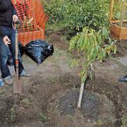 木の周りに水が浸透するように溝を掘り