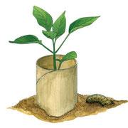 トイレットペーパーの芯は、根切り虫から苗を守る筒に。