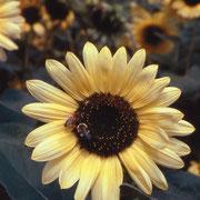一年生植物のカレンデュラ、アンミ、ナスタチーム、ヒマワリは アリッサムは、育てやすく、授粉者や益虫をひきよせる。