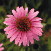 美しいムラサキバレンギク属を育てよう。 免疫力を向上するので自家製チンキにして活用。