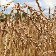 Weizen am Tag der Ernte.