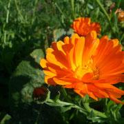 Nützliche Ringelblumen.