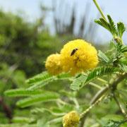 Geron sp. sur Vachellia nilotica (L.) P.J.H.Hurter & Mabb., 2008; Photo : E.D-M