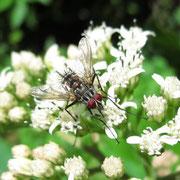 Ptilodexia sp. (Tachinidae) sur Verbesina gigantea Jacq.; Photo : E.D-M