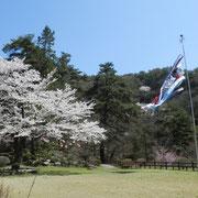 管理事務所前 鯉のぼりと桜