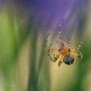 spin aan een web