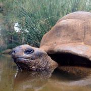 Wasserschildkröte?